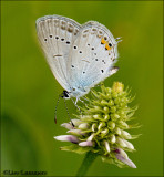 Short-tailed Blue - Staartblauwtje_MG_4230