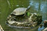European pond terrapin - Moerasschildpad_MG_4170