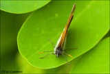 Pearly Heath - Tweekleurig hooibeestje_MG_4016