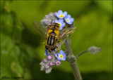 Hover Fly - Pendelzweefvlieg_MG_3837