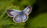 Holly Blue - Boomblauwtje_MG_4793