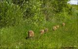 Wild Boar - Wild zwijn_MG_4134