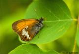 Pearly Heath - Tweekleurig hooibeestje_MG_4015
