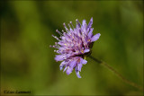 Field scabious - Beemdkroon_MG_4398