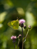 Pale Clouded Yellow - Gele Luzernevlinder_MG_4515