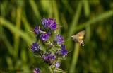 Hummingbird Hawk-moth - Kolibrievlinder