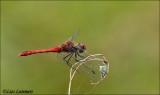 Ruddy Darter - Bloedrode heidelibel_MG_0374