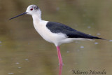 Black-winged Stilt (Cavaliere-d'Italia)