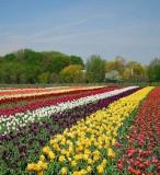 001-Tulip Rows1.jpg