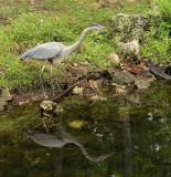 615-Blue Heron.jpg