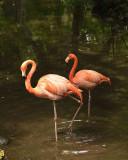 691-Flamingos.jpg