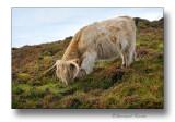 Vache typique Ecossaise