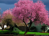 Flowering (Japanese) Cherry