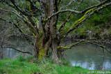 Dawn Redwood, Native of China