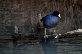An Old Coot