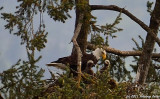 Bald Eagle and Babies