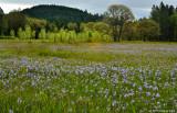 Field of Camas Flowers
