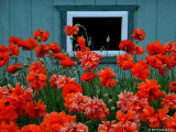 Poppies and Window