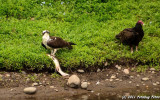 The Standoff - Osprey and Vultures