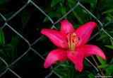 Acapulco Lily