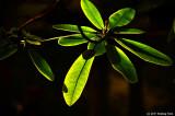 Leaves of Light