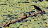 Green Heron at Delta Ponds