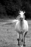 Arabian Running