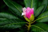 October Rhody Blossom