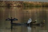 Heron Chasing Cormorant From Log
