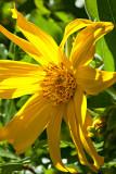 11-06 Arrowleaf Balsam Root.jpg