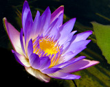 12-07 Water lily 1.jpg