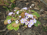 primroses forcing spring to arrive