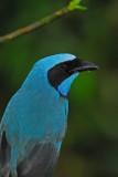Turquoise Jay 4