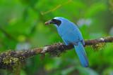 Turquoise Jay 5