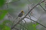 Tricolored Brush-finch
