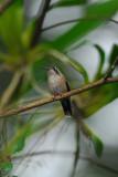 Speckled Hummingbird 2