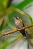 Speckled Hummingbird 3