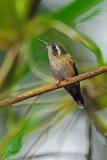 Speckled Hummingbird 4