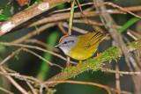 Russet-crowned Warbler 2