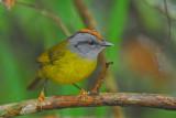 Russet-crowned Warbler 3