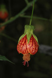 Abutilon sp.