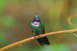 Gorgeted Sunangel Female 2