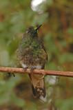 Buff-tailed Coronet 6