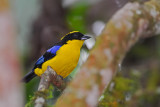 Blue-winged Mountain Tanager 2