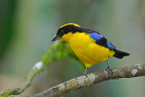 Blue-winged Mountain Tanager 3