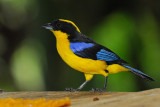 Blue-winged Mountain Tanager 4