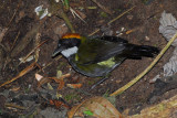 Chestnut-capped Brushfinch 2