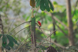 Crimson-mantled Woodpecker