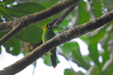 Crimson-rumped Toucanet 2