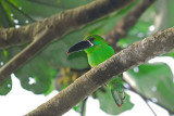 Crimson-rumped Toucanet 3